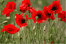 Poppies - Vector art Federico Viola based on photo by hotblack from morgueFile